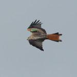 Rotmilan mit Flügelmarke aus dem HGON Projekt Rettet die Roten