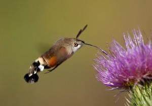 Aufgrund des Schwirrfluges im Sonnenschein werden Taubenschwänzchen oft für Kolibris  gehalten. Foto C. Gelpke