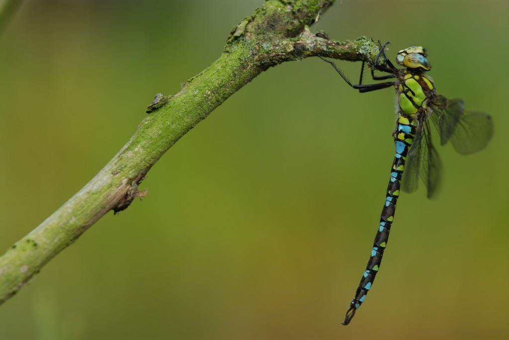 Blaugrüne Mosaikjunger