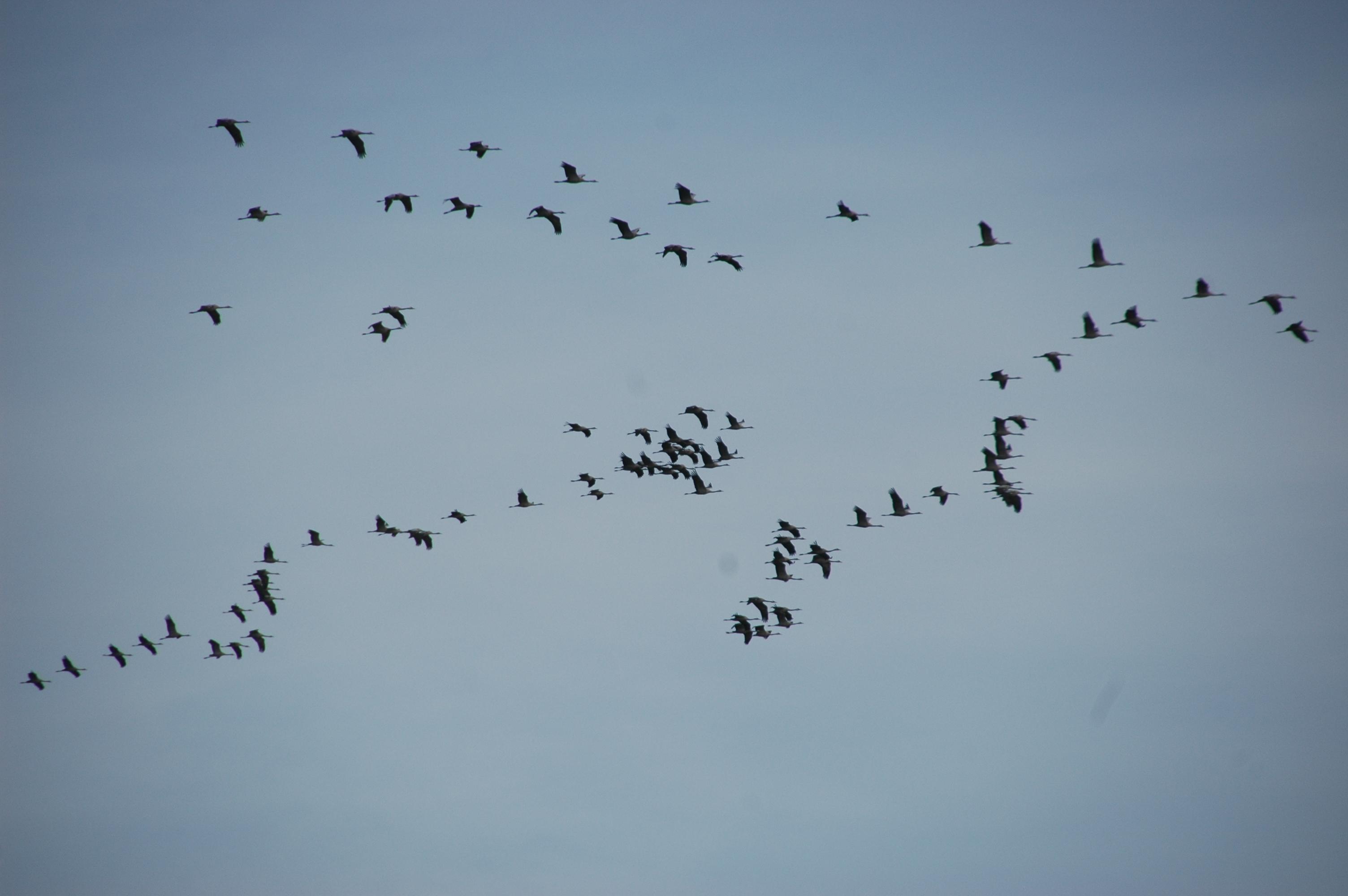 Die in V-förmigen Formationen ziehenden Kraniche sind besonders auffallend, derzeit sind aber auch viele andere Zugvögel unterwegs