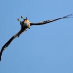 Flugspiele des Rotmilans