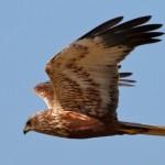 ...Rohrweihen-Männchen hingegen mit rotbrauner Unterseite, hellen Flügeln und schwarzen Flügelspitzen auffällig gemustert