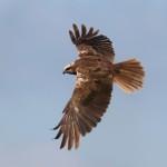 Rohrweihen Weibchen sind einfarbig dunkelbraun mit hellem Kopf und Flügelbug