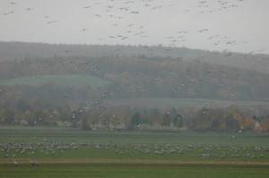 So wie hier in der Wetterau sah es am vergangenen Dienstag kurzzeitig au ch bei Loshausen aus - riesige Kranichschwärme setzten zur Landung an