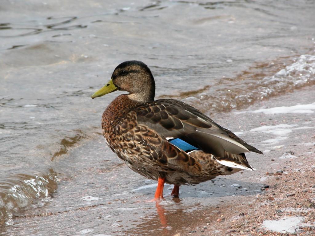 Stockenten-Erpel im Tarnkleid, nur am gelben Schnabel von Weibchen zu unterscheiden. Foto S. Stübing