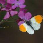 Aurorafalter ein wunderschöner Frühlingsbote. Die orange Zeichnung haben nur die männlichen Tiere.