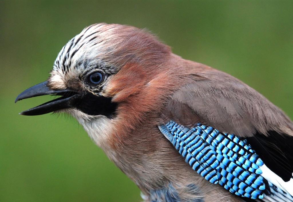 Eichelhäher_Nur aus der Nähe zu sehen sind die leuchtend blauen Vorderflügel