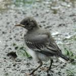 Jungvögel, wie hier eine Bachstelze, sehen oft ganz anders aus als ihre Eltern und sind am gelben Schnabelwinkel und dem Kopfflaum zu erkennen