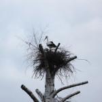 2014  - Erste Baumbrut seit über 60 Jahren im Schwalm-Eder-Kreis