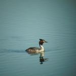 Haubentaucher auf dem Borkener See