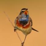 Blaukehlchen - ein Meistersänger