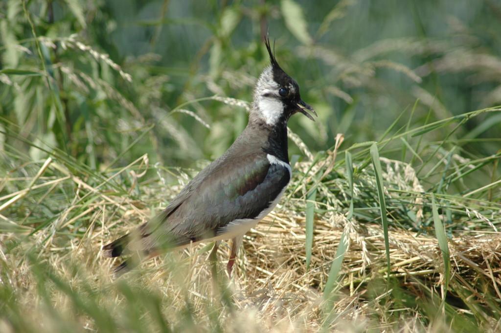 Der Kiebitz ist die auffälligste Art unter den schon früh wegziehenden Vögeln